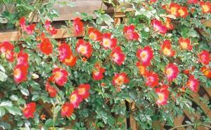 ブロンマ 鶴巻サロン 庭造り 薔薇