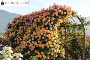 ブロンマ 鶴巻サロン 薔薇