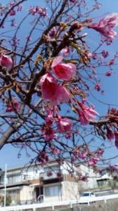 ブロンマ 秦野鶴巻店 桜