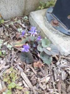 種こぼれで裏庭にスミレが目立たずも何株も咲きました♪